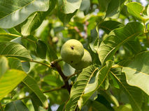 Two fruits of Juglans regia in green leaves. Royalty Free Stock Photo