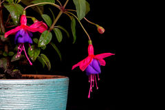 Two Fuchsia, Purple Red Isolated on Black Background Stock Photo
