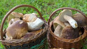 Two full baskets with edible mushrooms stock video footage