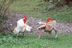Two full of fight spread its wings and fluffed feathers on green grass. On the farm stock photo