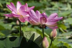 Two fully bloomed lotus flowers. In water bed Stock Photography