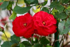 Two fully blooming red roses with dense petals and yellow center surrounded with dark green leaves. Two fully open blooming red roses with dense petals and stock images