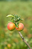 Two fully grown apples in an orchard Royalty Free Stock Images