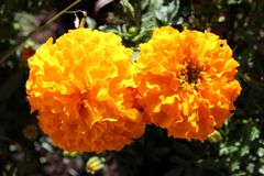 Two fully open English marigold or Pot marigold blooming orange flowers on dark green leaves background in local garden. Two fully open English marigold or Pot stock image