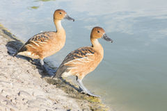 Fulvous Whistling-Ducks Royalty Free Stock Images