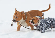 Two fun american staffordshire terrier dogs running in winter na. Two beautiful fun american staffordshire terrier dogs running in winter nature royalty free stock image