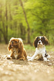 Two fun cavalier king charles spaniel dog. S in nature Royalty Free Stock Image