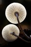 Two fungi Stock Photography