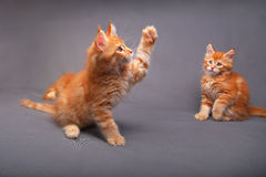 Two funny adorable red solid maine coon kitten playing and holdi Royalty Free Stock Photography