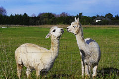 Two funny alpacas. This interesting Photo is taken in New Zealand , an alpaca is eating grass while the other one is staring at it Stock Photos