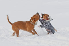 Two funny american staffordshire terrier dogs play Royalty Free Stock Photography