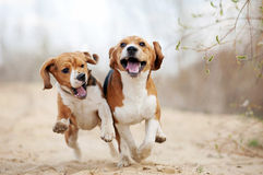 Two funny beagle dogs running. In spring together Royalty Free Stock Photography