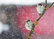 Two funny  birds sitting on a branch during a heavy snowfall in Stock Image