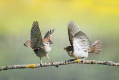 Two little funny birds sparrows on a branch in a sunny spring garden flapping their wings and beaks during a dispute royalty free stock photo