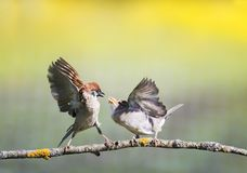 Two little funny birds sparrows on a branch in a sunny spring garden flapping their wings and beaks during a dispute. Two funny birds sparrows on a branch in a stock image