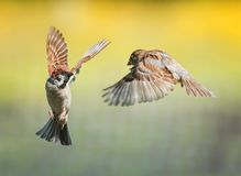 Two small funny birds sparrows fly in a sunny spring garden flapping their wings and beaks during the dispute. Two funny birds sparrows fly in a sunny spring stock image