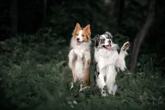 Two funny Border Collie dogs sit on the background of greenery stock images