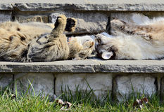Two Funny Cats. A Highland Lynx and a Siamese Balinese cat lying on rock steps head to head, nose to nose, enjoying the sun stock image