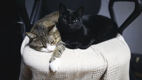 Two funny cats lying on chair at home. Two beautiful funny cats lying on chair at home stock footage