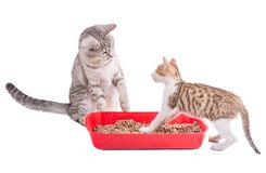 Two funny cats playing in a cat toilet. Isolated with clipping path stock images