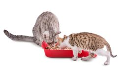 Two funny cats playing in a cat toilet. Isolated with clipping path royalty free stock images