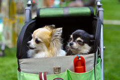 Two funny chihuahua dog Stock Images