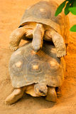 Two funny copulating turtles Royalty Free Stock Images