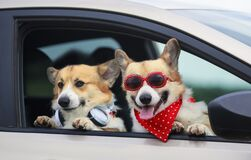 Free Two Funny Corgi Dogs Poked Their Snouts Out Of A Car Window During A Summer Family Trip Stock Photos - 187305563