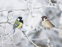 Two funny curious little bird tit and Sparrow sit among the bran