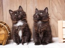 Two funny and cute black Kurilian Bobtail cats are sitting. Purebred cats. Pets stock images