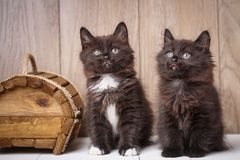 Two funny and cute black Kurilian Bobtail cats are sitting. Purebred cats. Pets royalty free stock photos