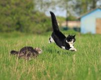 Two funny cute cats are fun and fast to run a race through the s. Ummer meadow Stock Photography
