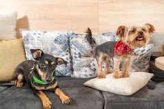Two funny cute dogs ex abandoned homeless adopted by good people and having fun on the pillows in the pet shop enjoying new life.  royalty free stock photography