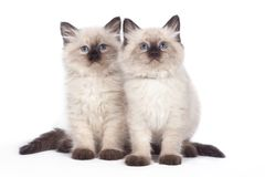 Two funny cute kitten sitting on a white background stock photography