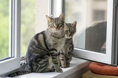 Two funny cute marble striped tabby cats sitting on the windowsill in the window. Eye contact stock photo