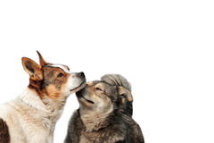 Two funny dog cuddling and fooling around noses on white isolated background Stock Photo