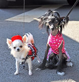 Two funny dogs in dress. On the street royalty free stock image