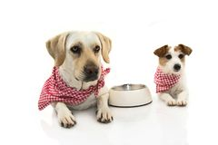 TWO FUNNY DOGS EATING FOOD. LABRADOR AND JACK RUSSEELL LYING DOWN WITH A EMPTY BOWL. ISOLATED STUDIO SHOT AGAINST WHITE BACKGROUND stock photos
