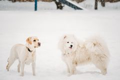 Two Funny Dogs - Labrador Dog And Samoyed Playing Outdoor In Snow. Winter Season. Playful Pets Outdoors Royalty Free Stock Photography