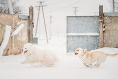 Two Funny Dogs - Labrador Dog And Samoyed Playing And Running. Two Funny Dogs - Labrador Dog And Samoyed Playing And  Running Outdoor In Snow, Winter Season Royalty Free Stock Image