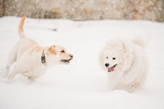 Two Funny Dogs - Labrador Dog And Samoyed Playing And Running Outdoor In Snow, Winter Season. Two Funny Dogs - Labrador Dog And Samoyed Playing And  Running Stock Images