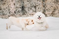 Two Funny Dogs - Labrador Dog And Samoyed Playing And Running Outdoor. Two Funny Dogs - Labrador Dog And Samoyed Playing And  Running Outdoor In Snow, Winter Stock Image