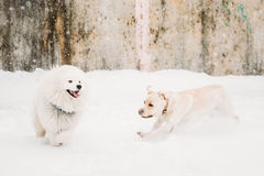 Two Funny Dogs - Labrador Dog And Samoyed Playing And Running Outdoors. Two Funny Dogs - Labrador Dog And Samoyed Playing And  Running Outdoor In Snow, Winter Royalty Free Stock Photos