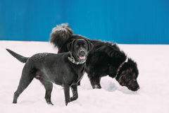 Two Funny Dogs Labrador And Newfoundland Play Together Outdoor In Snow At Winter Royalty Free Stock Photo