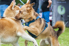 Two funny dogs play great Stock Photography