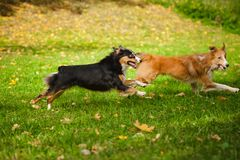 Two funny dogs play together Royalty Free Stock Photo