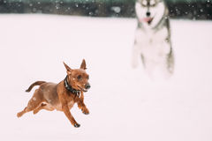 Two Funny Dogs Play Together. Funny Dog Red Brown Miniature Pins. Cher Pincher Min Pin And Husky Playing Outdoor In Snow, Winter Season. Playful Pet Outdoors stock images