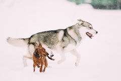 Two Funny Dogs Play Together. Funny Dog Red Brown Miniature Pinscher. Pincher Min Pin And Husky Playing Outdoor In Snow, Winter Season. Playful Pet Outdoors royalty free stock photos