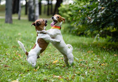 Two funny dogs playing and dancing. Pair of Jack Russell Terriers playing at a park Royalty Free Stock Photos