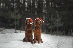 Two funny dogs are preparing to celebrate the new year. Among the beautiful snowy forest in festive hats royalty free stock image